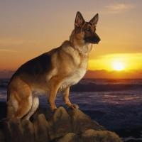 Nemački ovčar – inteligentan, vredan i odan