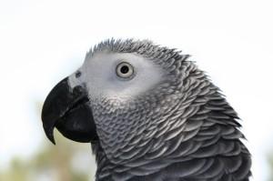 africki sivi papagaj