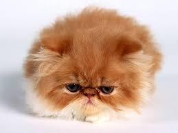 persijsko mace