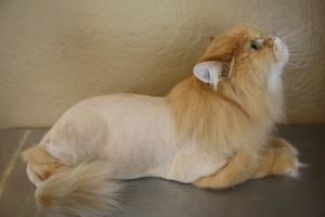persiska macka sisanje