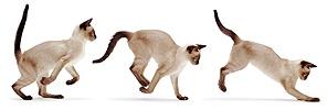 Siamese cat bounding triple image
