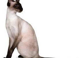 Sijamska mačka – graciozna, inteligentna i brbljiva