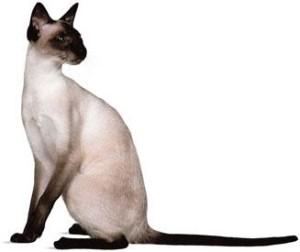 sikamska macka bela