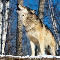 Zavijanje vukova pojašnjava socijalnu vezu među članovima čopora