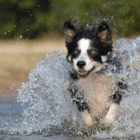 Border Collie – energični i inteligentni pastir