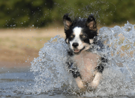 Border Collie – energični i inteligentni pastir