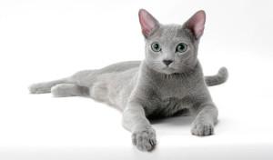 ruska plava macka krzno