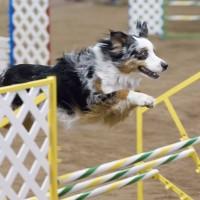 Agility – sport koji jača vezu između psa i vodiča (VIDEO)