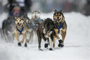 The dogs of musher Hendricks