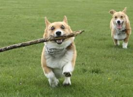 Velški korgi – mali pas sa velikim karakterom