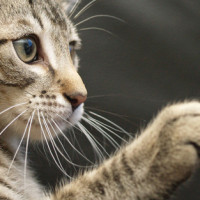 7 rasa mačaka koje se dobro slažu sa psima