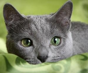ruska plava maca