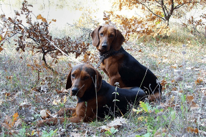 serbian-hound-dogs