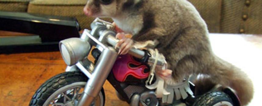 Šuger glajder – razigrana torbarska veverica iz Australije