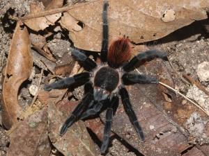 Meksička crvena tarantula