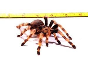 White Knee tarantula