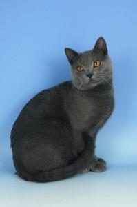 chartreux ili kartuzijska mačka