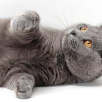 Kartuzijska mačka – pametnica sa osmehom