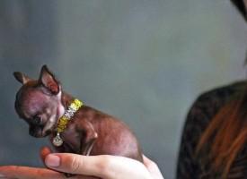 Najmanji pas na svetu Miracle Milly