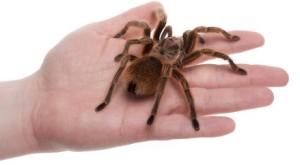 tarantula-h1