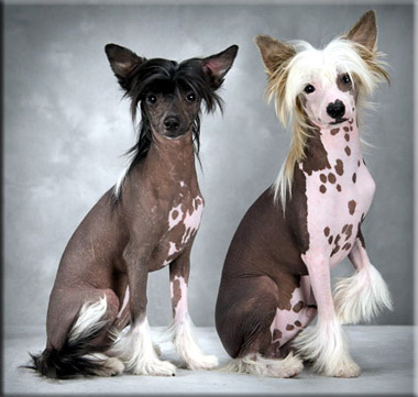 Chinese-Crested-Hairless