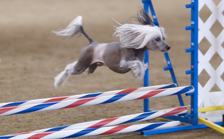 Chinese_Crested_hairless_agility