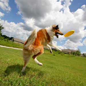 Dog-Playing-with-Frisbee