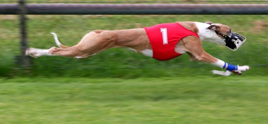 Najbrži pas na svetu Vs. najbrža mačka
