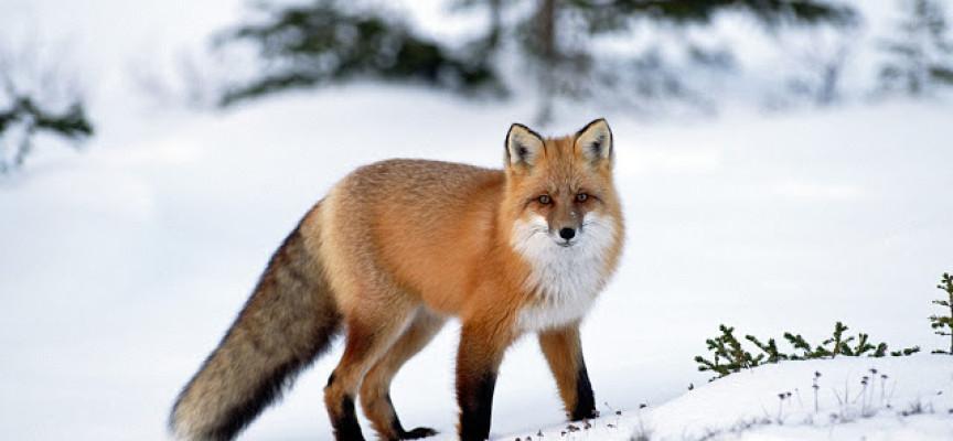 Lisica koja lovi plen sakriven ispod snega (VIDEO)