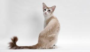 balinezijska macka