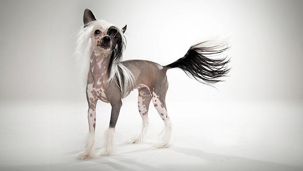chinese-crested-dog_05_lg