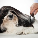 Psi koji se ne linjaju: 10 rasa koje su pogodne za vlasnike sa alegrijom na dlaku
