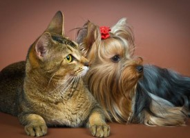 Psi sa mačjim osobinama