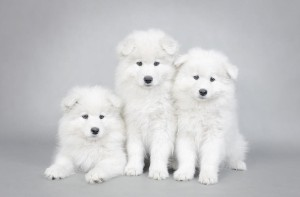 three-little-samoyed-puppies-portrait-waldek-dabrowski