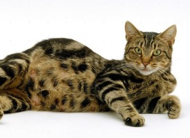 Skotna mačka: Kako da pomognete vašoj mezimici da na svet donese mačiće