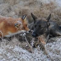Neobično prijateljstvo iz Norveške – divlja lisica i pas