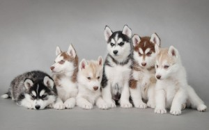 Siberian-Husky-Puppies-HD-Widescreen