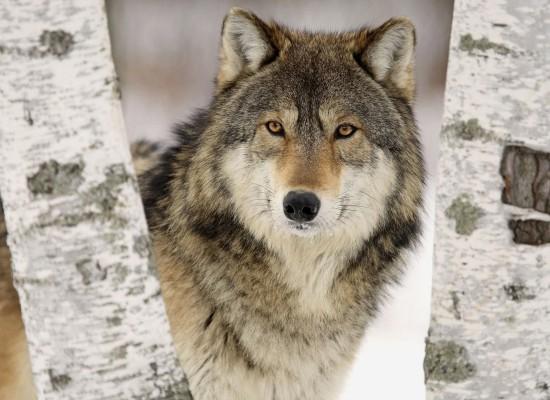 Vuk i pas: Da li znate koja je rasa psa najbliža vuku?