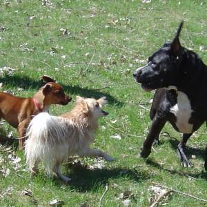 izgled psa