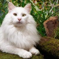Norveška šumska mačka – čarobno stvorenje iz mitova, pratilac vikinga i odana ljubimica