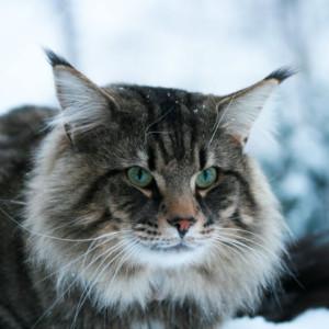 norveska sumska macka
