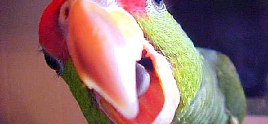 Kako da naučite papagaja da priča