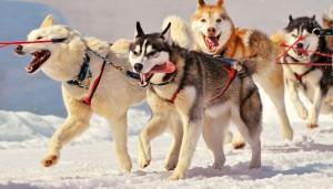 siberian huskies pulling sled