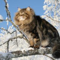 Sibirska mačka – dobroćudni pustolov ruskih tajgi