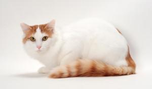 turska van mačka narav