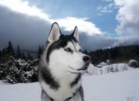 Sibirski haski – prvak saoničarskih trka