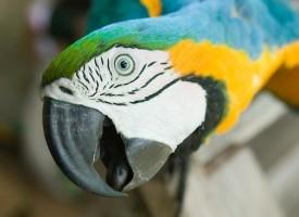 5 mitova o govoru papagaja