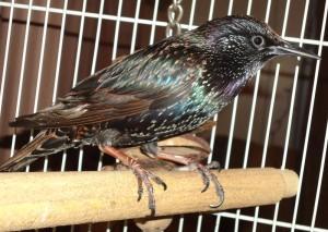 Pet_European_Starling_Bird