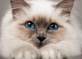Birmanska mačka – ljubimica miterioznog porekla i čudesne lepote