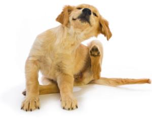 dog-scratching-lrg